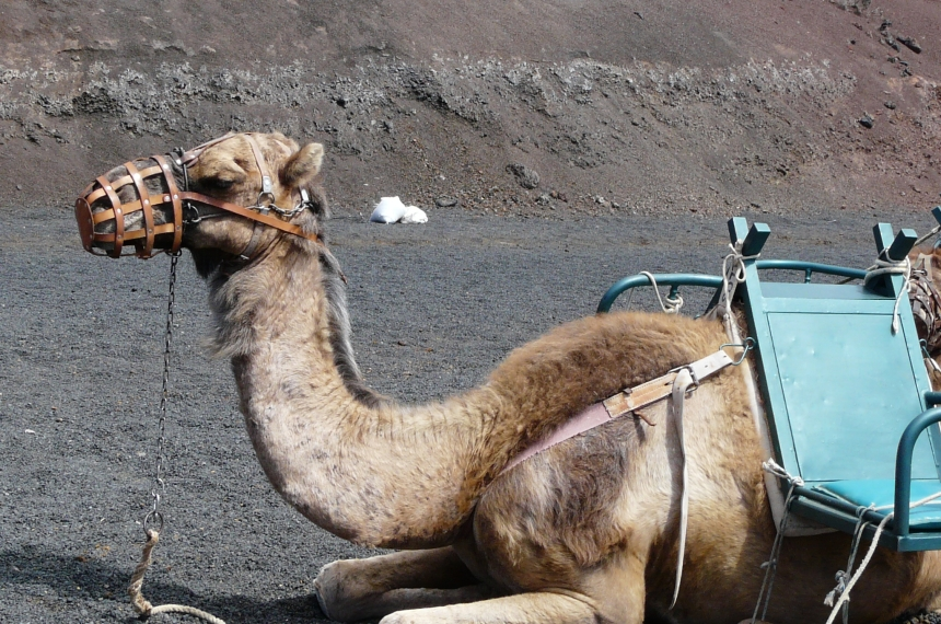 Lanzarote - nawyspie jest mnóstwo wielbłądów