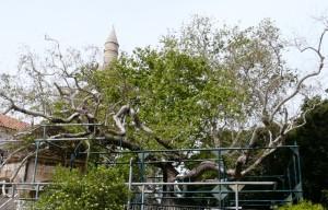 Drzewo Hipokratesa, Kos