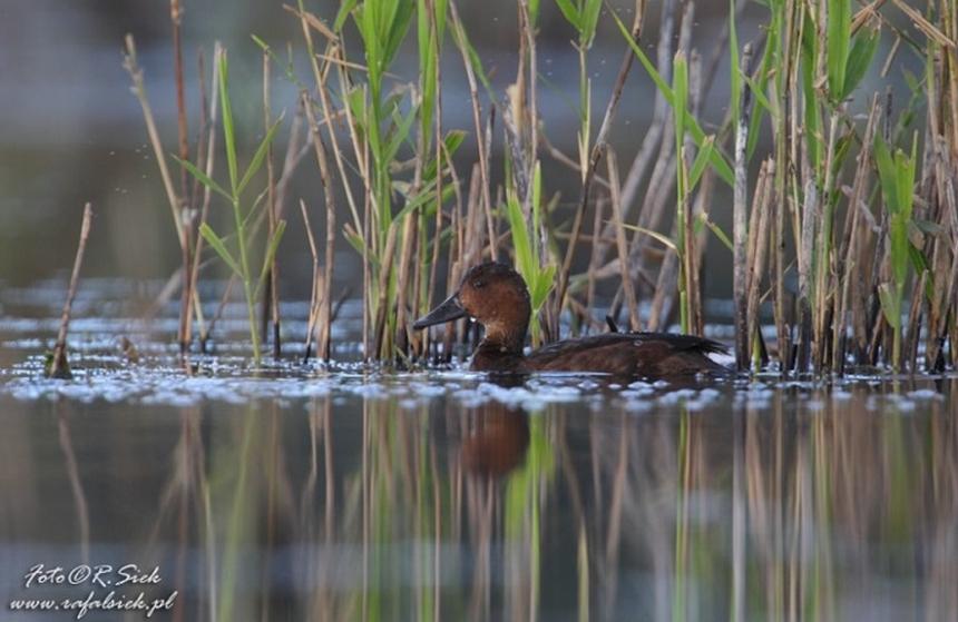 Kaczka - Polesie zaprasza na ptasie wycieczki