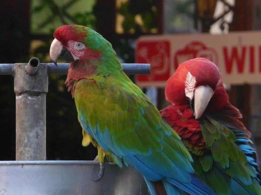 Papugi nagłównym placu wmieście Rodos