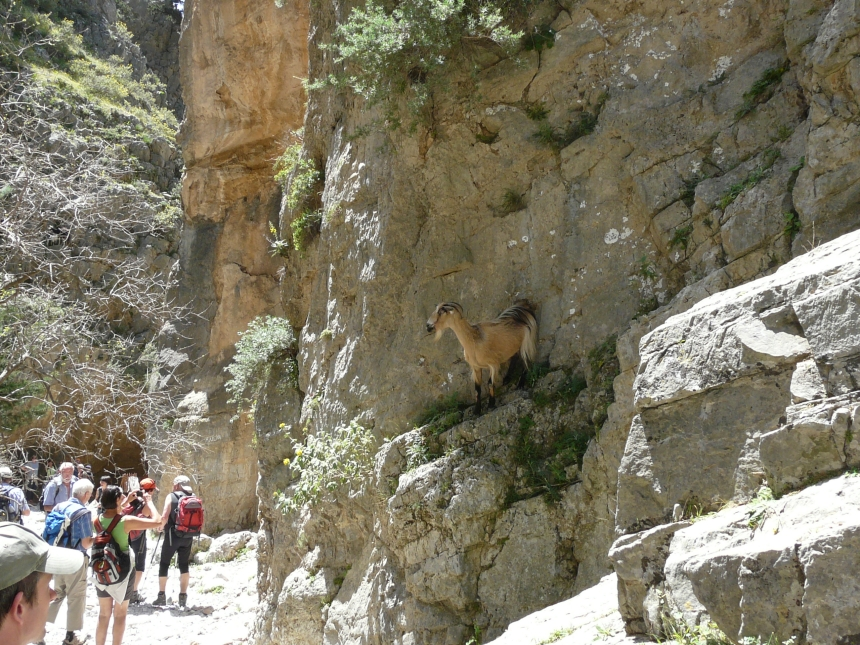 Kozy wwąwozie Imbros, Kreta