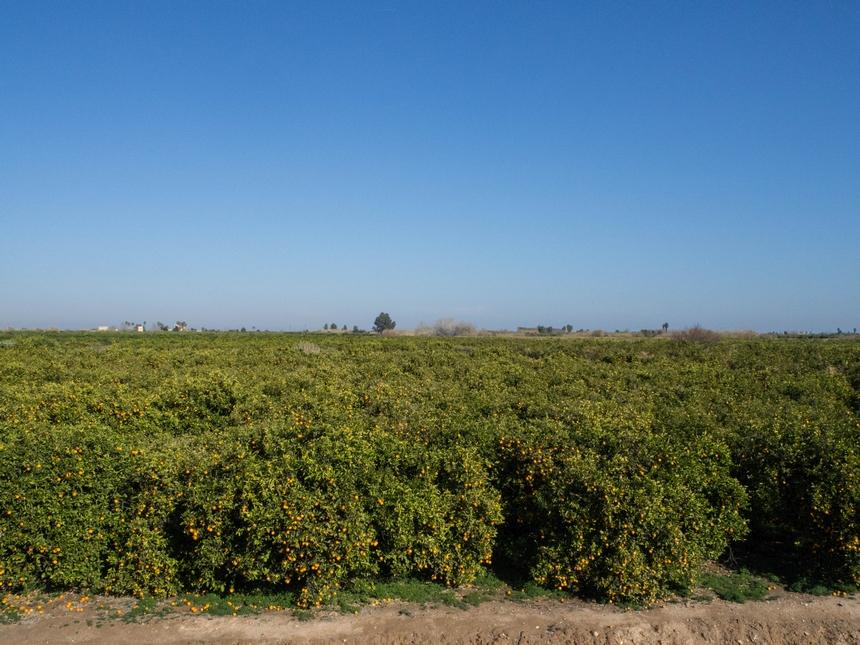 Drzewa cytrusowe wCastellon de la Plana
