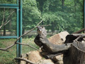 Góralka plamista, ogród zoologiczny Tierpark Cottbus, Chociebuż