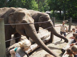 Karmienie słoni wogrodzie zoologicznym Tierpark Cottbus, Chociebuż